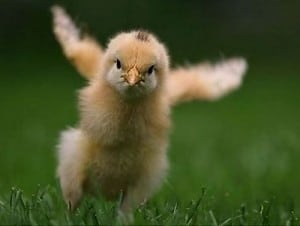 baby chick bird trying to fly